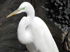 animal, wing, white, fauna, close-up, great egret, heron, beak, bird, seabird, wildlife,