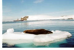 Seal lazing on ice