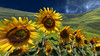 Relaxing wallpaper - Sunflowers