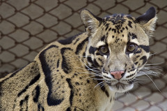 Clouded leopards at the National Zoo