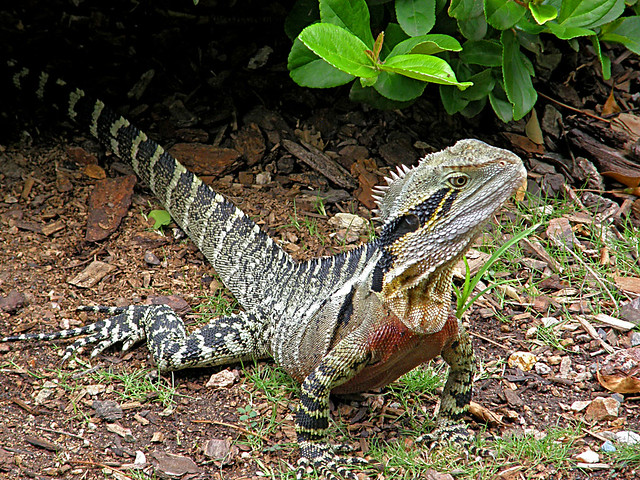 426 eastern water dragon male flickr   photo sharing
