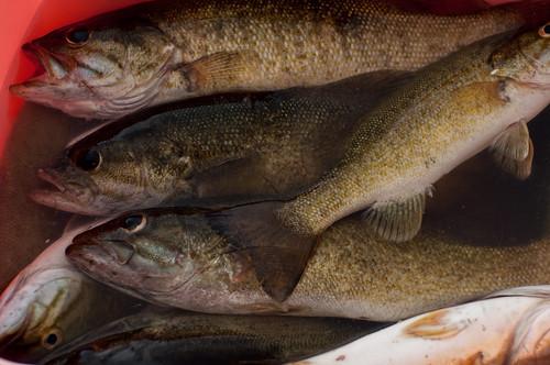 Owyhee river fishing report washington westfly for Owyhee river fishing report