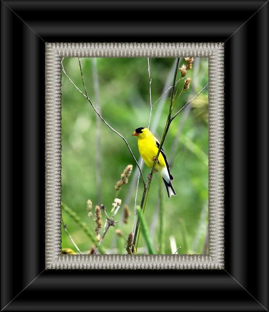 American Goldfinch Framed 20090618