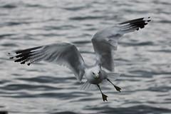sea gull toronto-2