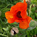 Poppy - Photo (c) kostolany244, some rights reserved (CC BY-NC)