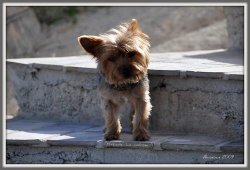 yorkshire animaux picnik chiens nikond90 alcosinus a4pattes