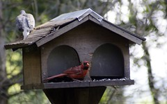 bluebird(0.0), perching bird(1.0), birdhouse(1.0), fauna(1.0), bird feeder(1.0), bird(1.0), wildlife(1.0),