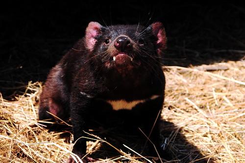 [フリー画像素材] 動物 1, 哺乳類, タスマニアデビル ID:201204201000