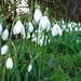 Small photo of Galanthus S. Arnott