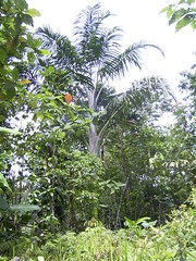 Pigafetta filaris palm | by East Asia & Pacific on the rise - Blog