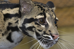 Clouded leopard at the National Zoo