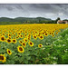 France, Sunflowers Missing the Sun at Beynac by Vincent_AF