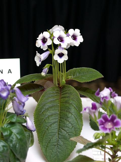 Sinningia speciosa 'Carangola'