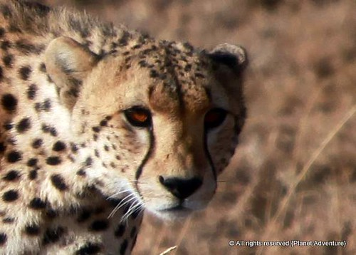 Cheetah - Serengeti National Park - Tanzania - Africa