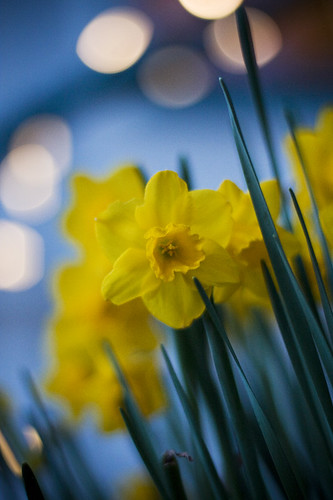 flower nature oregon portland landscape lights evening spring bokeh 50mm14 daffodil