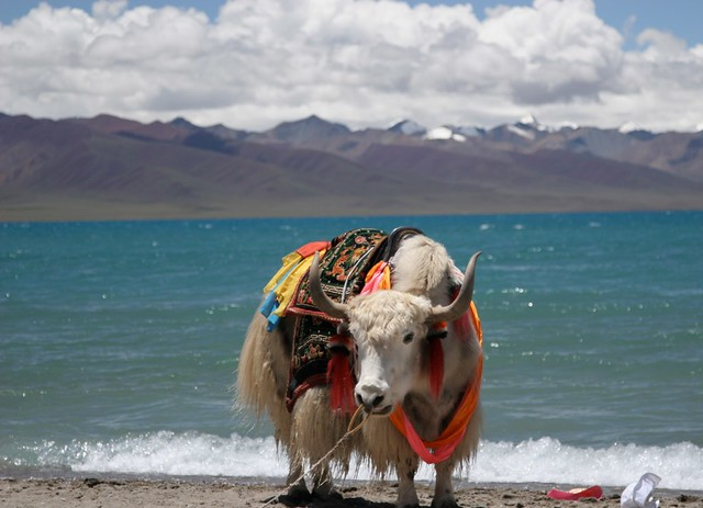 Namtso Lake with a yak by CC user sarahdepper on Flickr
