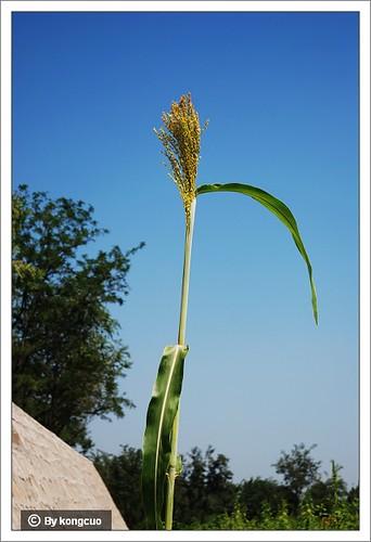北京阳台山的常见野花-禾本科高粱属高粱