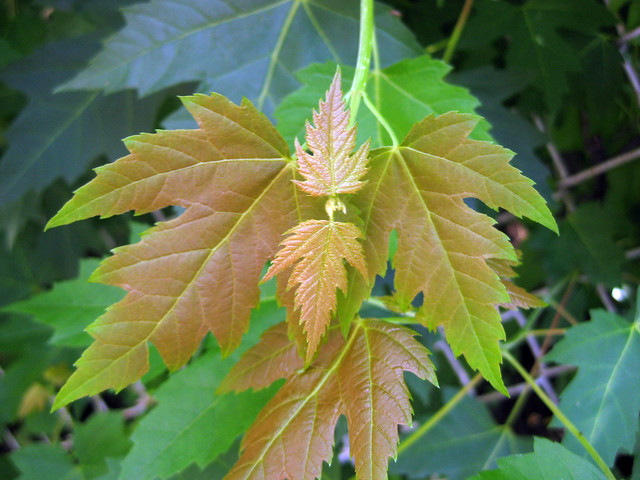 Acer saccharinum - Silver Maple young leaves