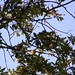 Small photo of Eurasian Jay with berry