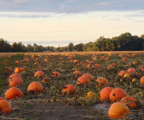 autumn fall field pumpkin michigan farm farming crop ag squash agriculture jackolatern brucetownship
