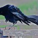 IMGL9086 Great Tailed Grackle by rgdresser