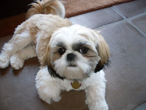 Paco, Shih Tzu Dog