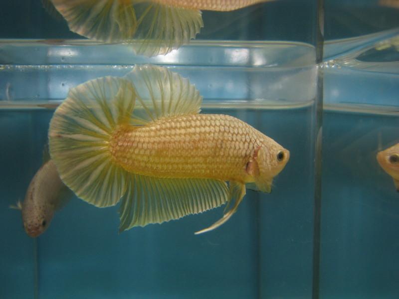 Betta tail types plakat otoko no yonmai for Rare types of betta fish