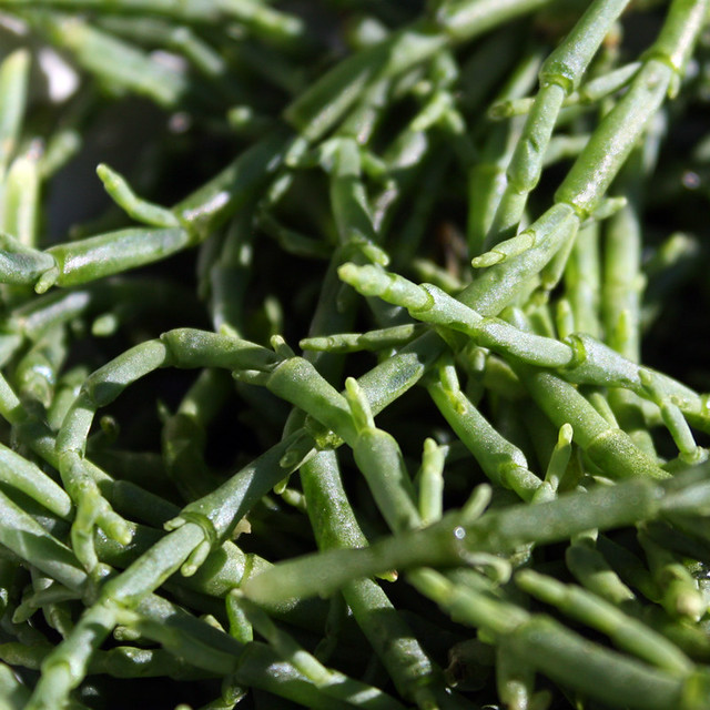 Raw samphire close-up