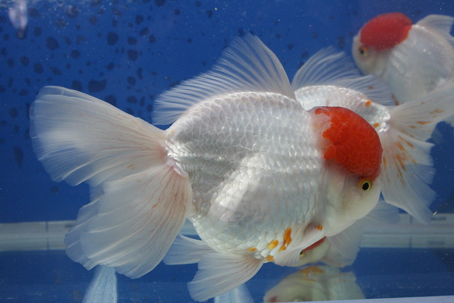 Red Cap Goldfish Flickr - Photo Sharing!
