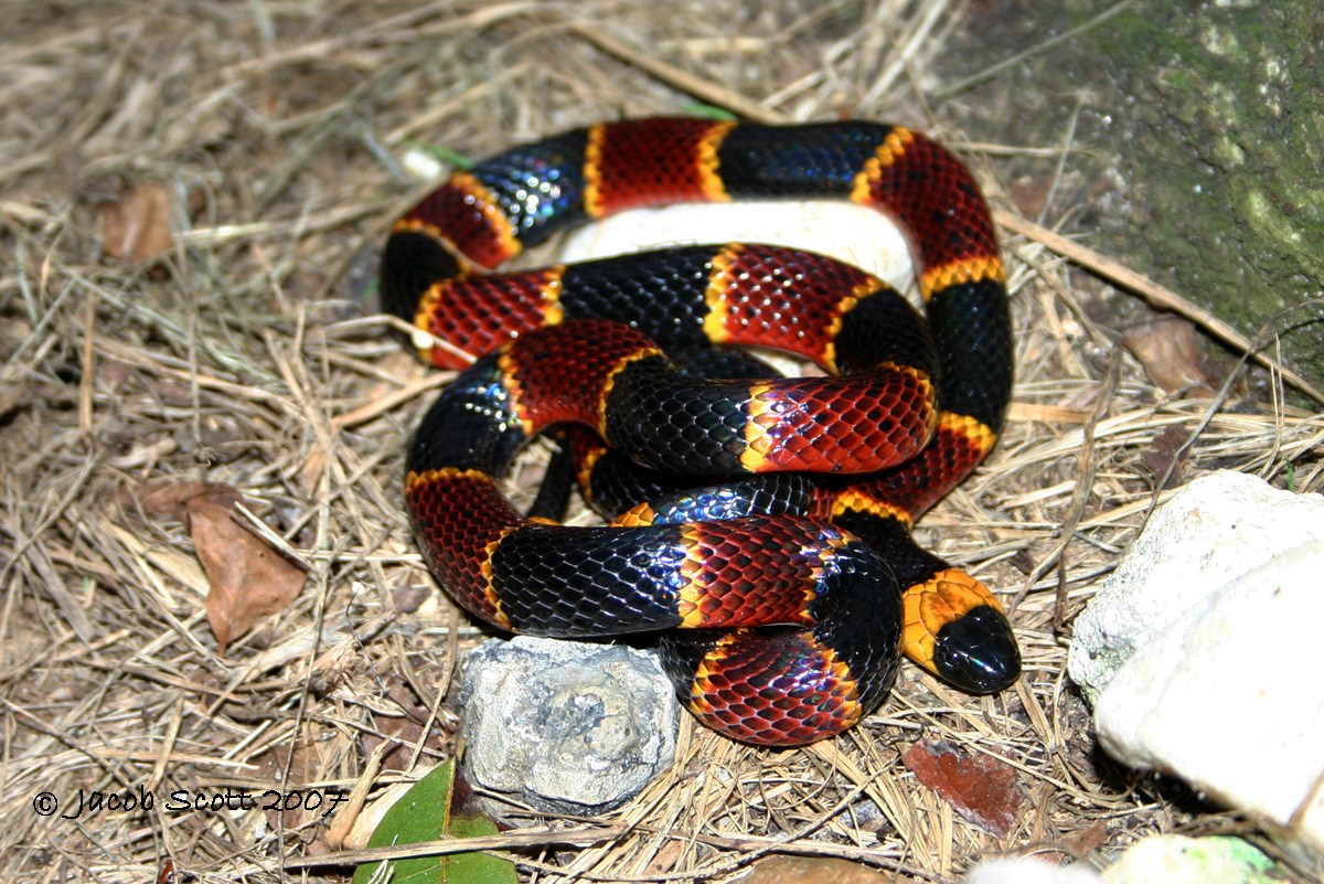 Eastern Coral Snake. Most venomous snake in the U.S ...
