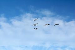 Sea gulls in blue skies