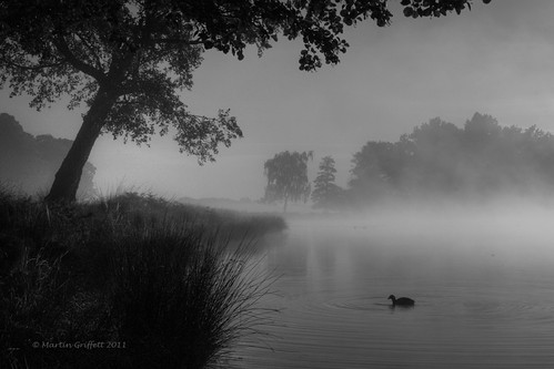 Coot in the mist
