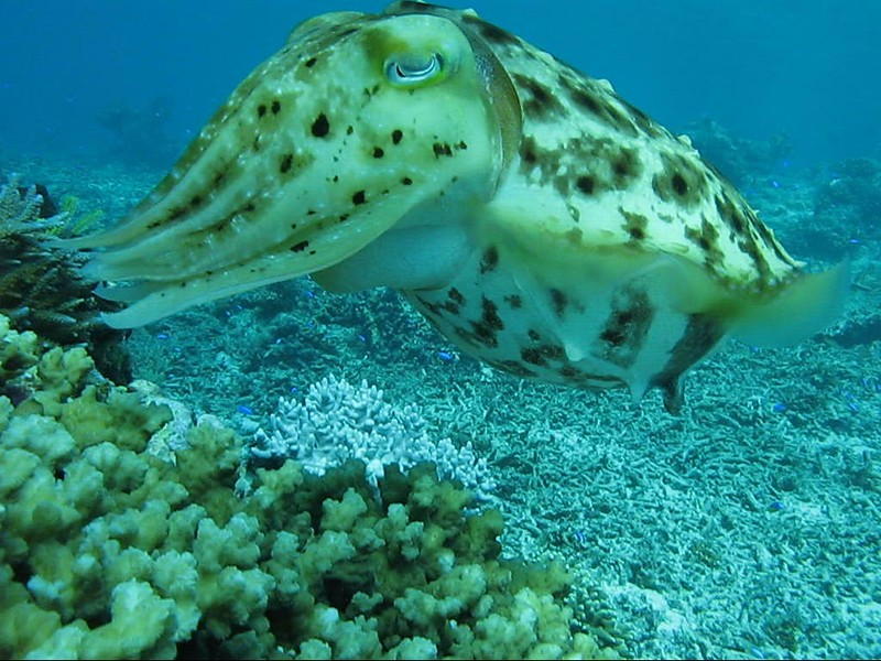 Cuttlefish laying eggs