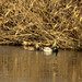 Small photo of Mr & Mrs Mallard