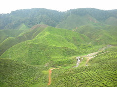 Cameron Highlands 06 - Tea plantation