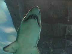 skate(0.0), animal(1.0), fish(1.0), shark(1.0), marine biology(1.0), underwater(1.0),