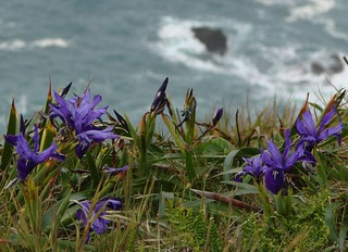Wild Iris Blooming on the CA coast