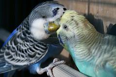 animal, parrot, wing, pet, fauna, parakeet, blue, common pet parakeet, beak, bird,