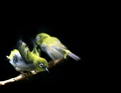 Japanese White-eye by Arup ≈ অরূপ