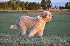 glen of imaal terrier(0.0), dandie dinmont terrier(0.0), lakeland terrier(0.0), miniature poodle(1.0), dog breed(1.0), animal(1.0), dog(1.0), schnoodle(1.0), pumi(1.0), pet(1.0), lagotto romagnolo(1.0), poodle crossbreed(1.0), irish water spaniel(1.0), irish soft-coated wheaten terrier(1.0), cockapoo(1.0), goldendoodle(1.0), spanish water dog(1.0), barbet(1.0), carnivoran(1.0),