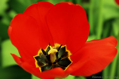 Another Red Flower