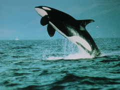 animal, marine mammal, sea, marine biology, killer whale, whales, dolphins, and porpoises,