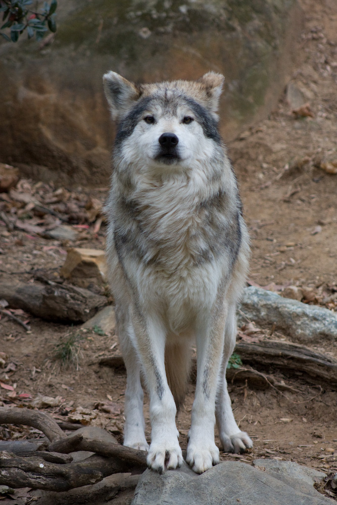 Wolf checks me out