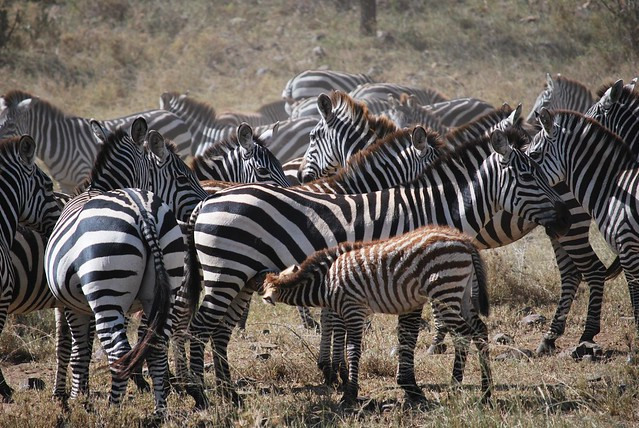 Herd of zebra with a baby suckling on it's mother