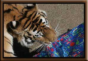 Tatiana the siberian tiger opening a present at the san francisco zoo