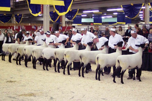 Sheeps contest
