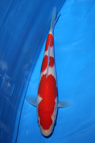 Young champion japan koi show 2009 picture hot girls for Koi fish maintenance