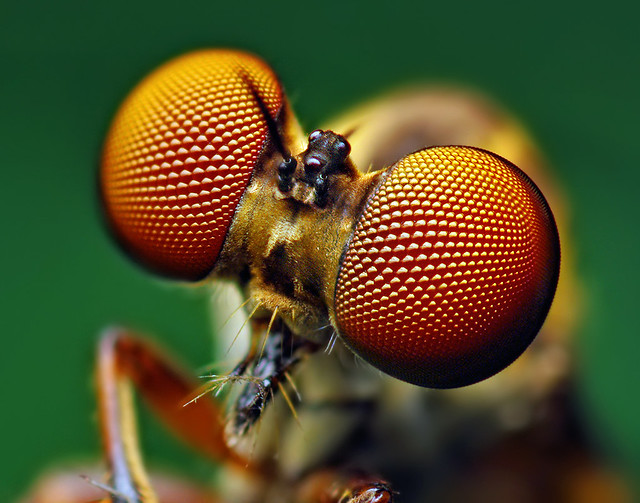 Eyes of a Holcocephala fusca Robber Fly