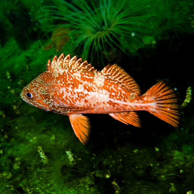 fish hair style vermillion rockfish jeez fish looks like the pic in 3461