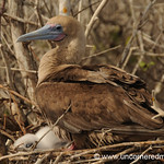 Motherly Care - Galapagos Islands
